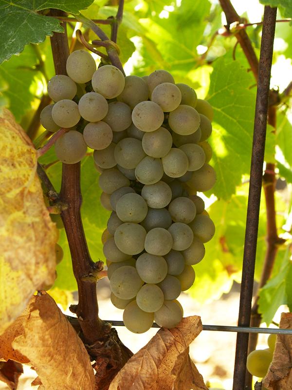 Ruta del Vino de Rueda racimo de uva
